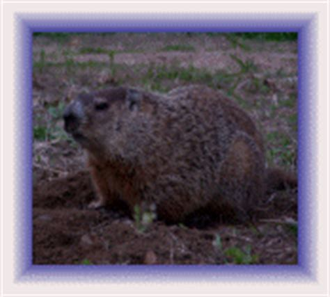 Get Rid Of Groundhogs Shed by Groundhog Groundhog Removal Get Rid Of Groundhog