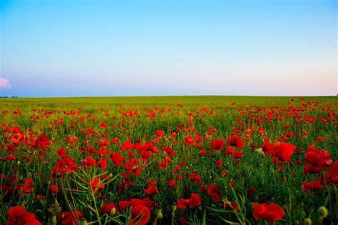 field of roses alana io