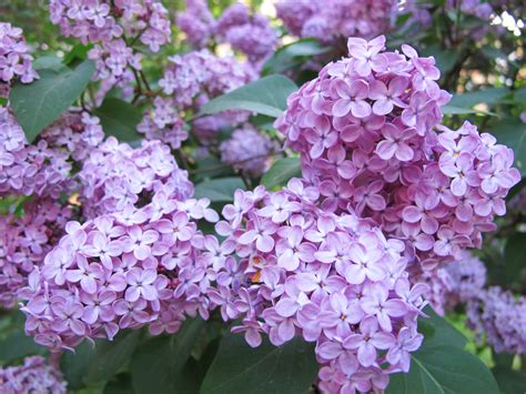 purple lilacs syrenersaft lilac cordial semiswede