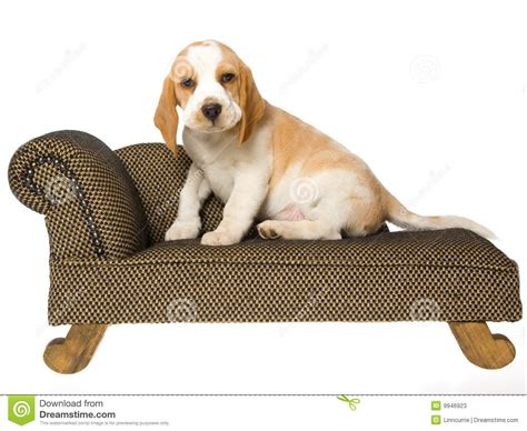 Xl Dog Sofa Cute Beagle Puppy Sitting On Brown Couch Stock Photos