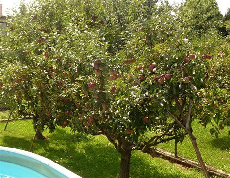 description of a tree file apple tree fry紂t 225 k 3 jpg wikimedia commons