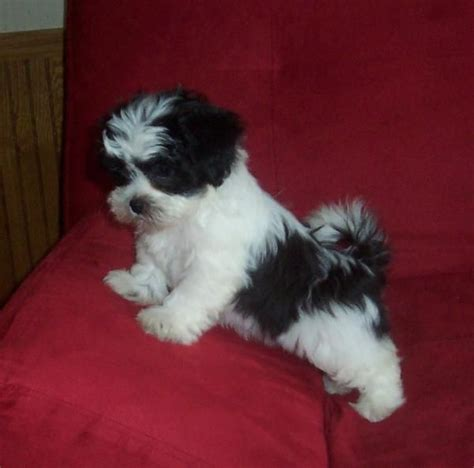 shih tzu how big do they get shichon puppy puppies dogs teddy puppies and puppy