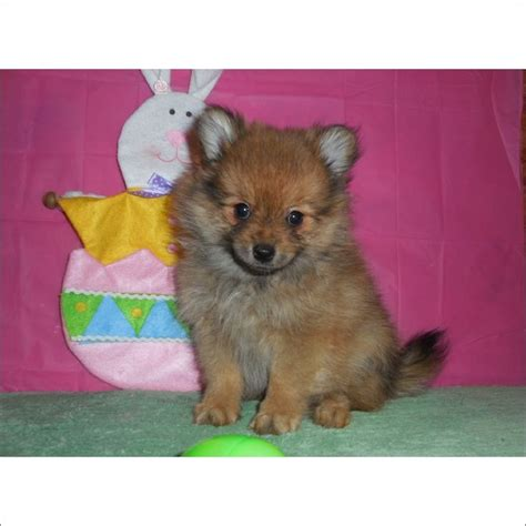 teacup pomeranian puppies for sale in arizona 17 best ideas about pomeranian puppies for sale on teacup pomeranian puppy