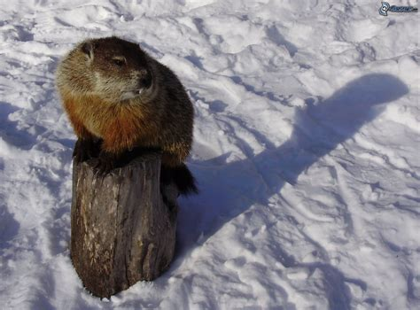 groundhog day meaning if no shadow murmeltier