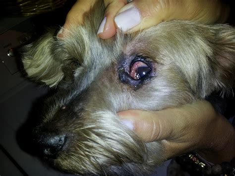 yorkie eye infection hi i an 8 year yorkie with a recurrent eye infection