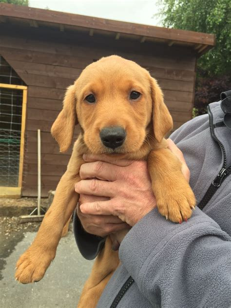 fox lab puppies for sale one left ready now fox lab puppies kc reg denbigh