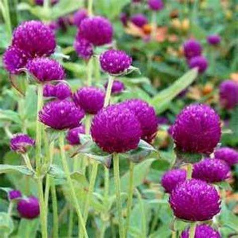 50 Annual Flower Garden Seeds Globe Amaranth Quot Purple Flower Garden Seeds