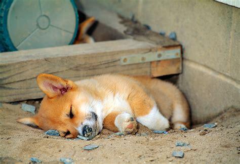 corgi puppy sleeping pembroke corgis info facts temperament puppies pictures