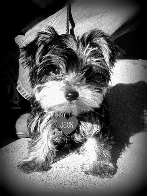 my yorkie has fleas 104 best yorkie in black and white images on pets yorkies and yorkie