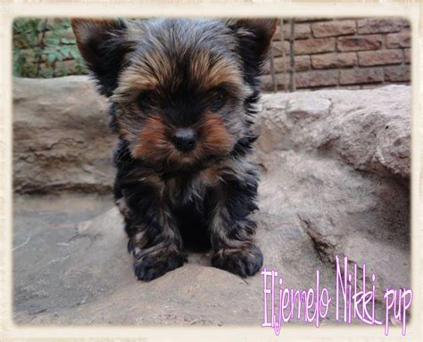 yorkie weight chart in grams terrier weight chart in grams dogs in our photo