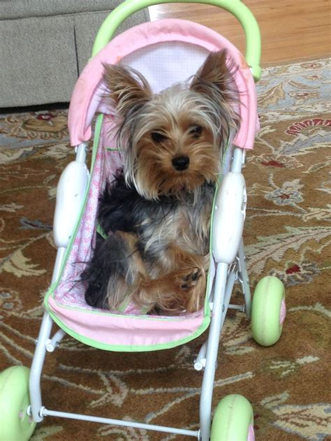 a baby yorkie 91 best images about yorkie on wheels on cars dogs and shopping