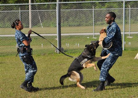 how to dogs to attack on command file us navy 120131 n ue250 026 a sailor commands mickey to attack jpg