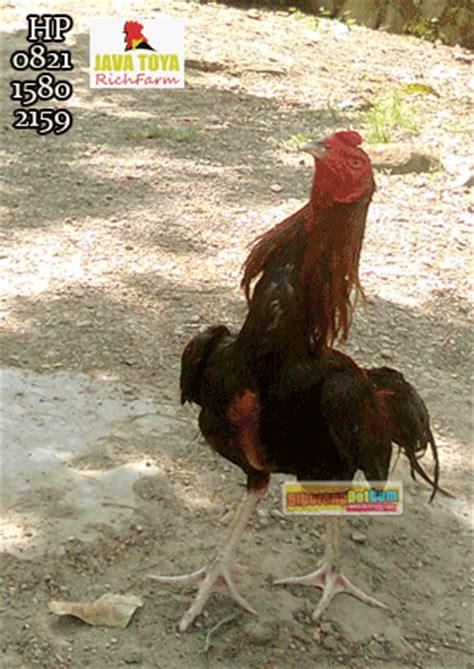 Jual Anakan Ayam Bangkok Petarung jual ayam bangkok ayam bangkok petarung jawara