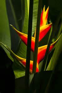 what color is heliconia heliconia rprtphoto
