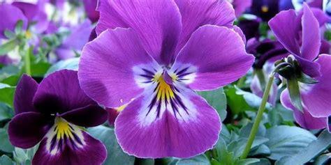 viole in vaso viola come curare e coltivare le viole in vaso e in giardino