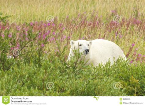 polar standing in the grass 2 royalty free stock photo image 34809595