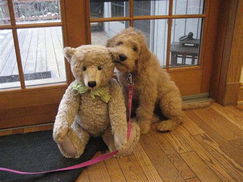 goldendoodle puppy growing grown goldendoodle www imgkid the image kid