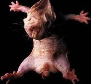 Are Moles Blind Mole Rat Flickr Photo Sharing