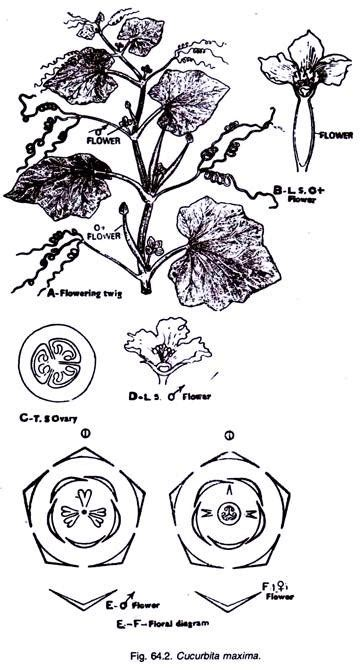 floral diagram of cucurbitaceae cucurbitaceae characters distribution and types