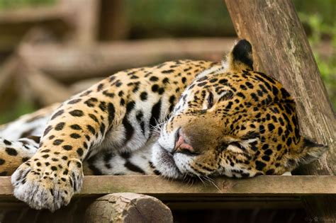imagenes de jaguar hd il giaguaro arricatore fulmineo e letale gattissimi