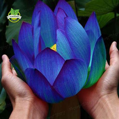 lotus flower seeds 20 blue sapphire lotus flower seeds color