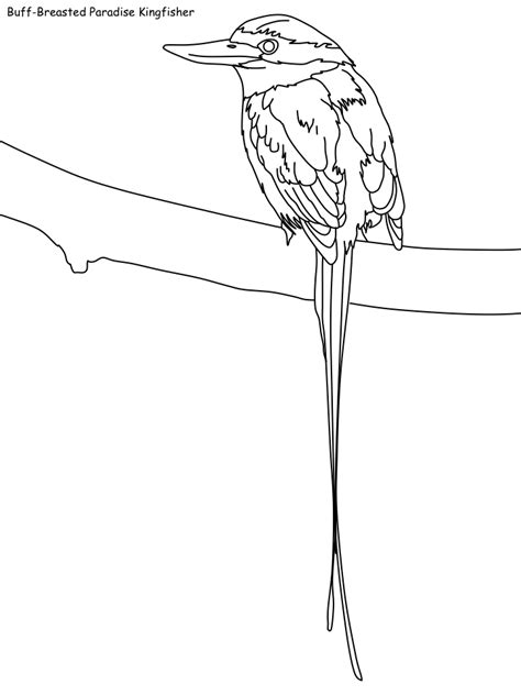 coloring pages kingfisher buff breasted paradise kingfisher coloring page free