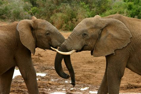 file elephant mating ritual 4 jpg wikimedia commons