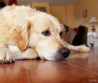 urinary incontinence in dogs what you need to about spay urinary incontinence in dogs