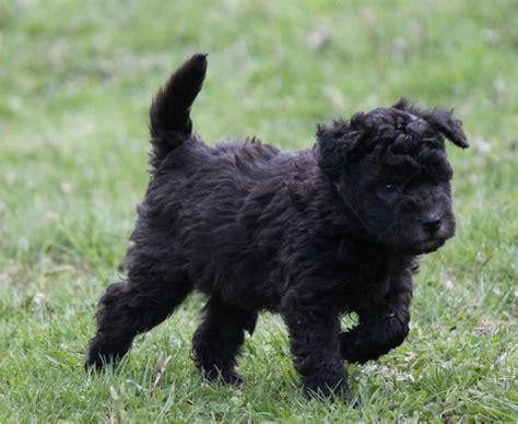 pumi puppies pumi puppies rescue pictures temperament characteristics price animals breeds