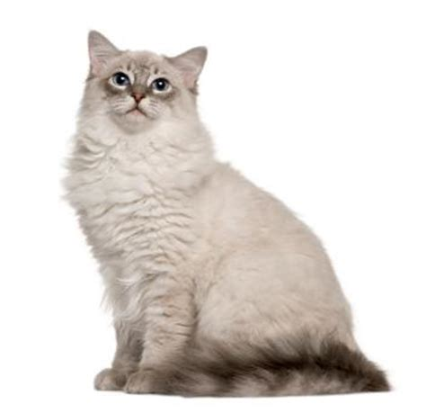 ragdoll cat price how much do ragdoll cats cost lovetoknow