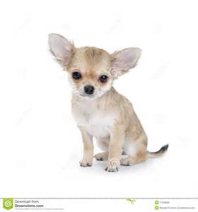 Small Cute House Plans pale beige chihuahua puppy on white royalty free stock