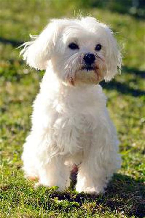how many puppies can a maltese how to teach a maltese to lie pets