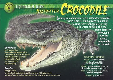 image saltwater crocodile front jpg wierd n wild