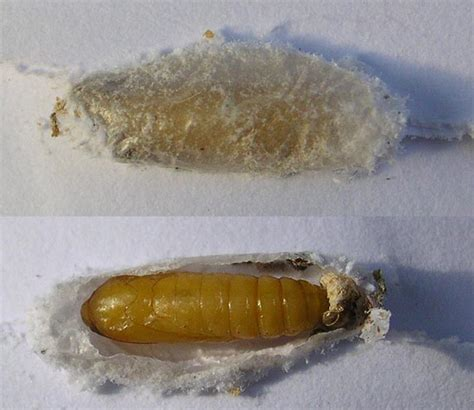 Pantry Moth Cocoon by Brown House Moth Hofmannophila Pseudospretella Ukmoths