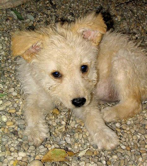 pumi puppies for sale photos les 25 meilleures id 233 es de la cat 233 gorie chien pumi sur chien hongrois