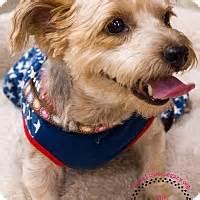 staten island puppy adoption staten island ny affenpinscher mix meet kinsey a for adoption