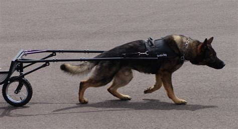 puppy pull weight sled harness get free image about wiring diagram
