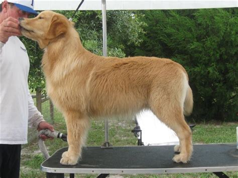 grooming golden retriever gold retrievers breeds picture