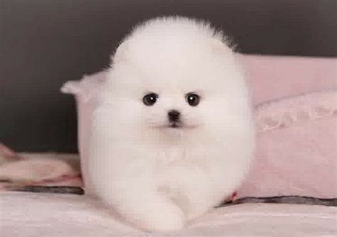 white fluffy teacup pomeranian puppies 1000 ideas about puppies for sale on puppies for sale mini dogs and