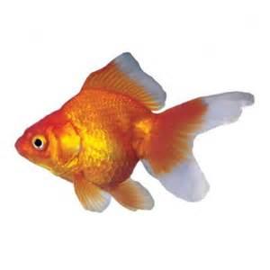 Ryukin Goldfish Raising and Care   Knowledge Base LookSeek.com