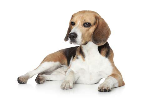 best inside dogs top 10 best indoor dogs petguide
