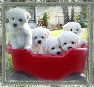 reno puppies bichon frise bodacious bichon frise puppies