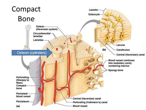 compact bone diagram bone anatomy diaphysis shaft of the bone made of