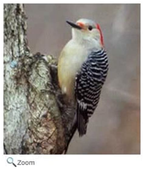 red bellied woodpecker melanerpes carolinus wildlife