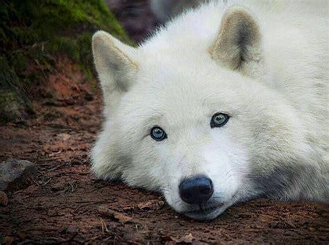 Seven White Wolves view topic r e g r o u p e d discussion chicken