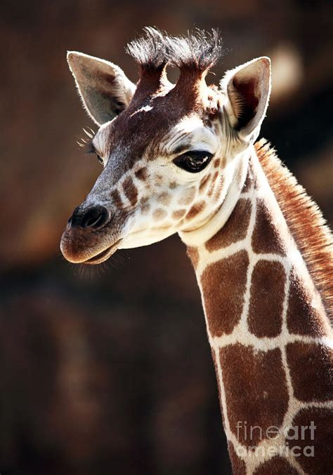 baby giraffe photograph by john rizzuto