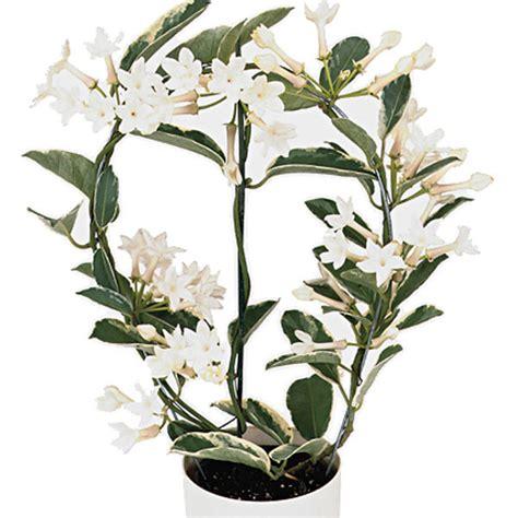 stephanotis madagascar jasmine stephanotis floribunda