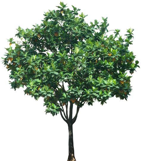 Tree L by Tropical Plant Pictures Artocarpus Altilis Breadfruit