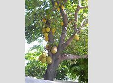 Jack fruit tree clipart - Clipground Free Clipart For Teachers Pay Teachers
