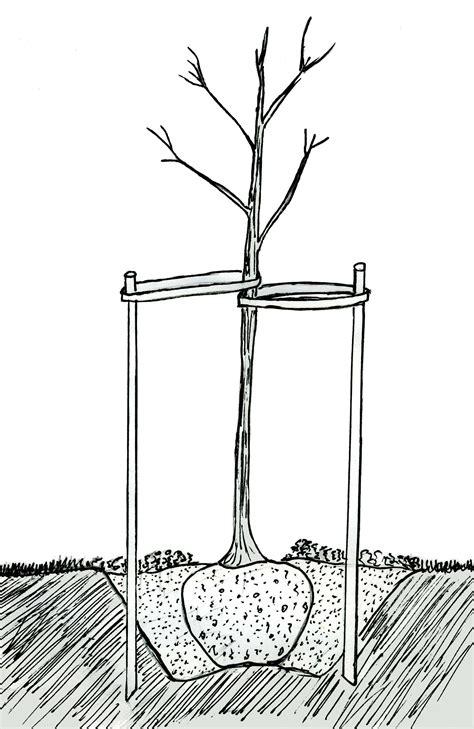 cross section tree file tree cross section jpg wikimedia commons